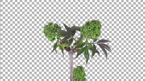 Time-lapse of growing Viburnum Opulus bush branch with ALPHA channel