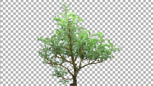 Time-lapse of growing bonsai helvetica tree with ALPHA channel