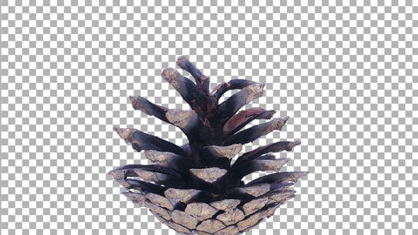 Time lapse of opening pine cone with ALPHA channel