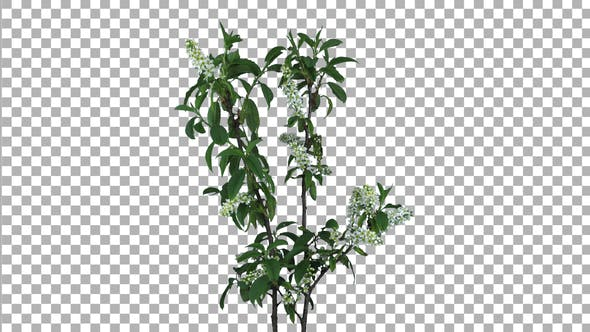 Thumbnail for Time lapse of blooming white bird cherry branch with ALPHA channel