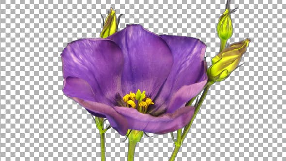 Thumbnail for Time lapse of blooming japanese rose (eustoma) with ALPHA channel