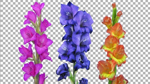 Time lapse of opening gladiolus flowers with ALPHA channel