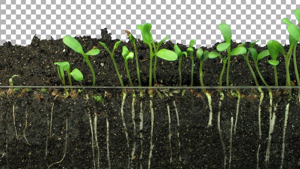 Thumbnail for Time lapse of growing alfalfa vegetables and roots with ALPHA channel