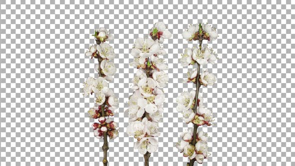 Thumbnail for Time lapse of blooming apricot tree branches with ALPHA channel