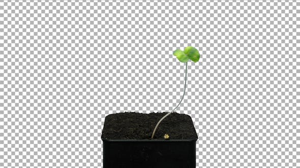 Thumbnail for Time lapse of germinating microgreens buckwheat seed with ALPHA channel