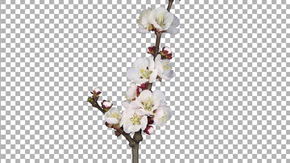 Thumbnail for Time lapse of blooming apricot branch with ALPHA channel