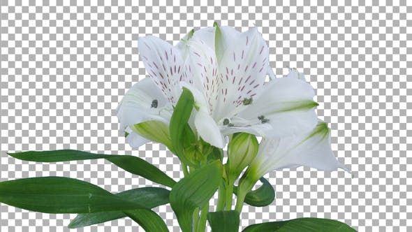 Thumbnail for Time lapse of growing, opening and rotating white Peru lily flower with ALPHA channel