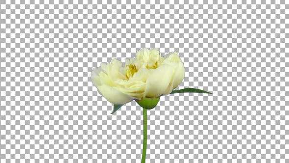 Time lapse of opening and rotating white Peony flower with ALPHA channel