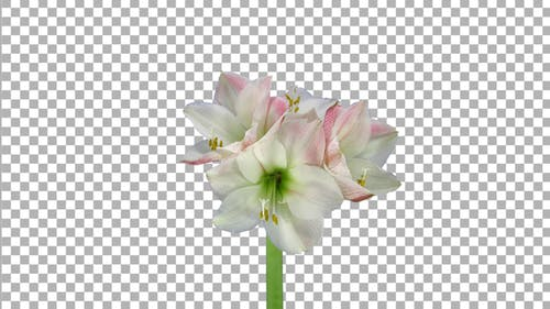Time lapse of growing and rotating amaryllis Apple Blossom flower with ALPHA channel