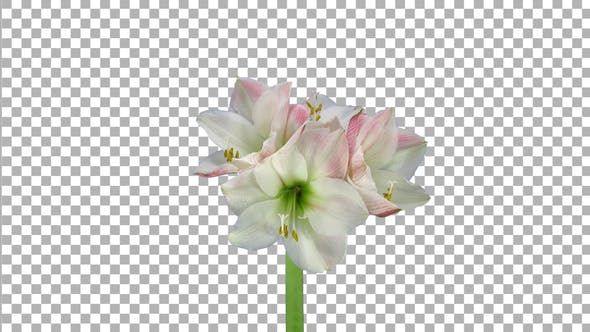 Thumbnail for Time lapse of growing and rotating amaryllis Apple Blossom flower with ALPHA channel