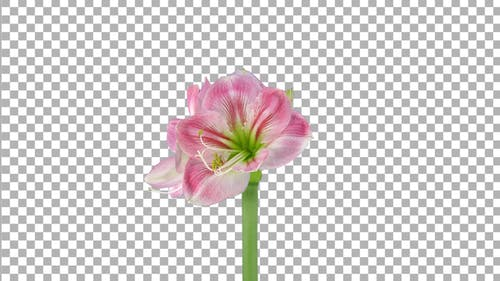 Time lapse of growing and rotating Candy Floss amaryllis flower with ALPHA channel