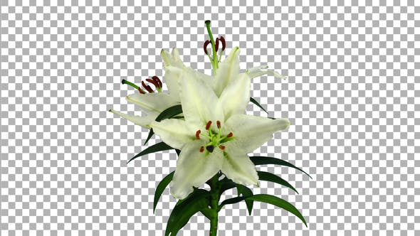 Time lapse of growing, opening and rotating white stargazer lily flower with ALPHA channel