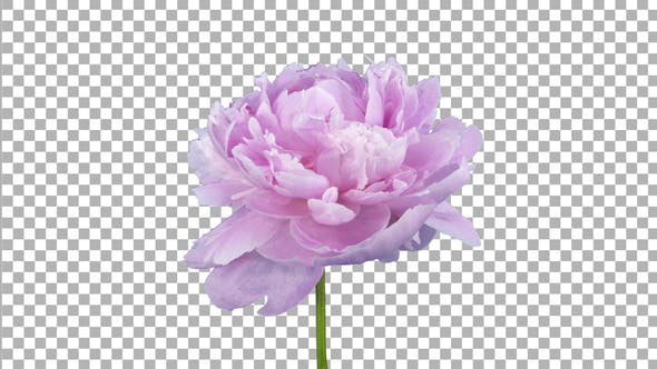 Time lapse of growing, opening and rotating pink Peony flower with ALPHA channel