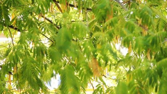 Thumbnail for Tree Leaves Swinging