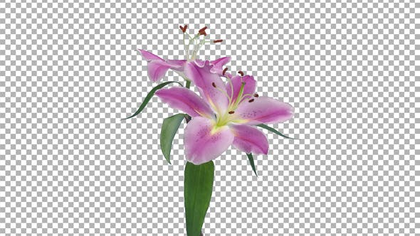 Thumbnail for Time lapse of opening two pink and white lily blossoms with ALPHA channel