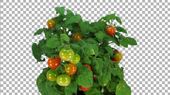 Thumbnail for Time-lapse of growing, ripening and falling tomato with ALPHA channel