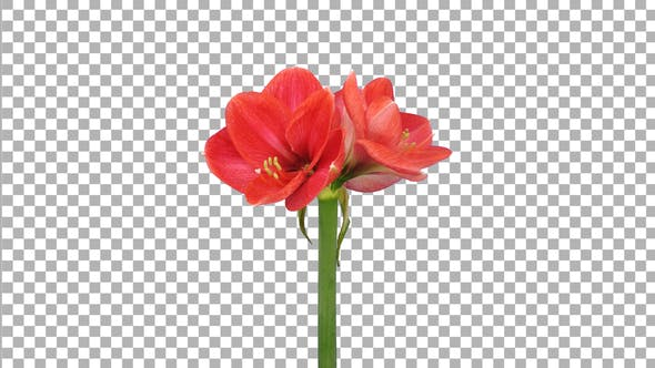 Time lapse of opening light red Brazza amaryllis with ALPHA channel