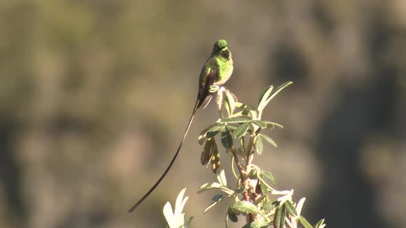 Thumbnail for Black-tailed Trainbearer Hummingbird Adult Perched with Long Tail