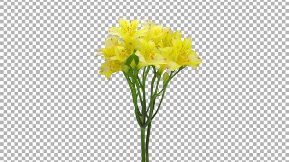 Thumbnail for Zeitraffer der Öffnung gelben Alstroemeria mit ALPHA Kanal
