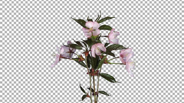 Thumbnail for Time-lapse of blooming pink sakura branch with ALPHA channel