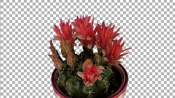 Thumbnail for Time-lapse of red cactus buds opening with ALPHA channel