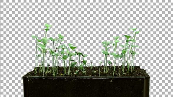 Thumbnail for Time-lapse of germinating microgreens broccoli seeds with ALPHA channel