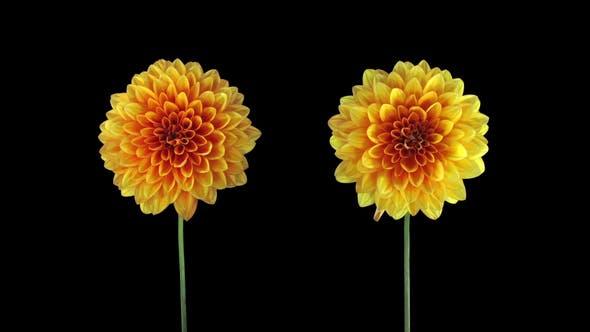 Thumbnail for Time-lapse of opening orange dahlia flower