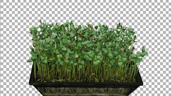 Thumbnail for Time-lapse of germinating microgreens caraway seeds with ALPHA channel