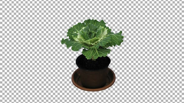 Thumbnail for Time-lapse of growing and opening decorative cabbage with ALPHA channel