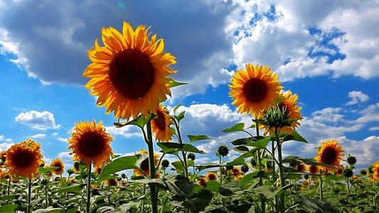 Thumbnail for Flowering Sunflowers