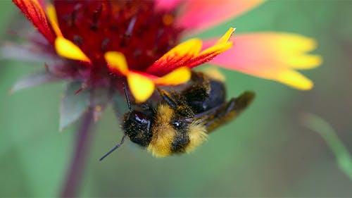 Working Bumblebee