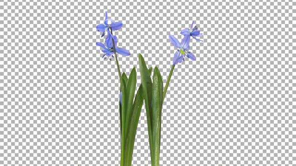Time-lapse of opening blue Scilla flower with ALPHA channel
