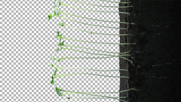 Thumbnail for Time-lapse of germinating rapeseed with ALPHA channel, vertical orientation