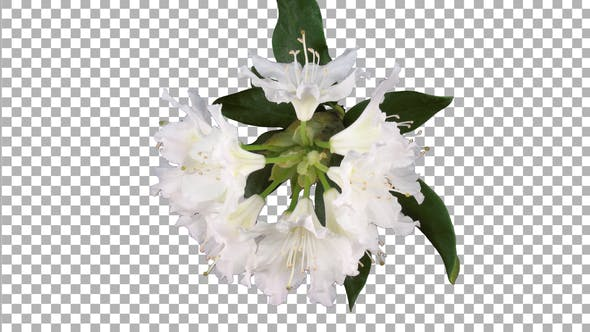 Time-lapse of dying rhododendron plant with ALPHA channel, top view