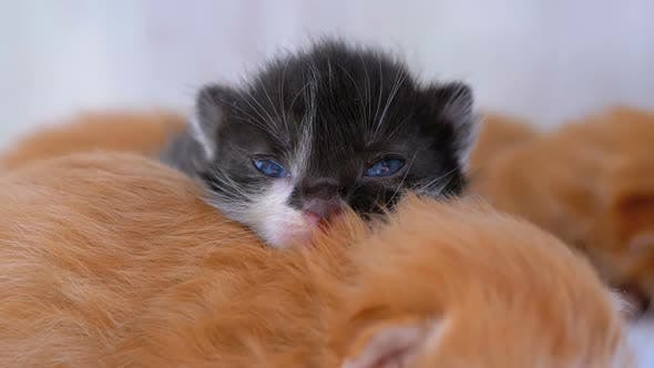 Thumbnail for Little Fluffy Kittens Are Two Weeks Old, Crawling Around on a White Rug.
