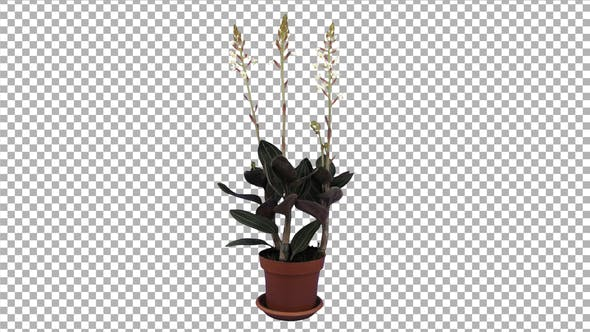 Thumbnail for Growing Ludisia discolor (Jewel Orchid) with ALPHA channel