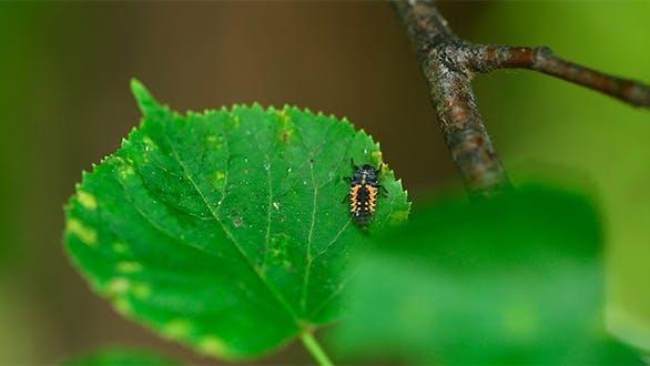 Thumbnail for Ladybug Larva