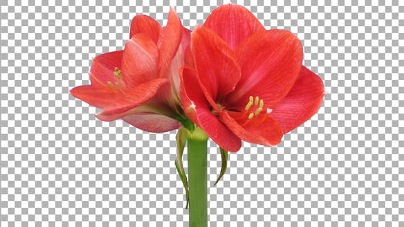 Time-lapse of opening light red Brazza amaryllis with ALPHA channel