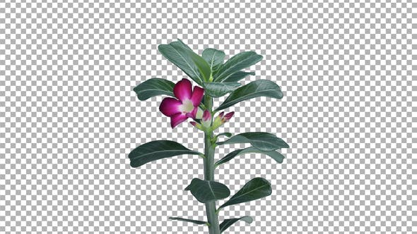 Thumbnail for Time-lapse of growing Adenium plant with ALPHA channel, 4K