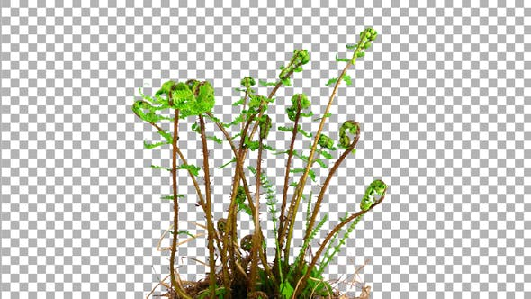 Time-lapse of growing baby fern plants with ALPHA channel