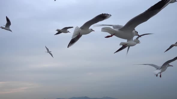 Thumbnail for Flock Of Seagulls Flying Across The Sky. Close Up 6