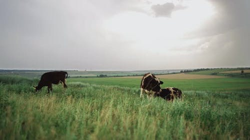 Herd of Cows Graze in a Field on a Dull Day