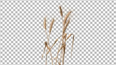 Wheat (3-Pack)