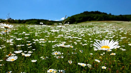 Thumbnail for Valley With Camomile Flowers