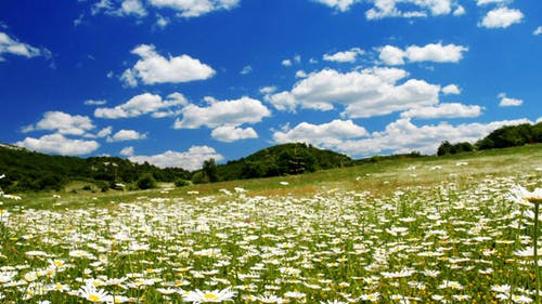 Valley With Camomile Flowers