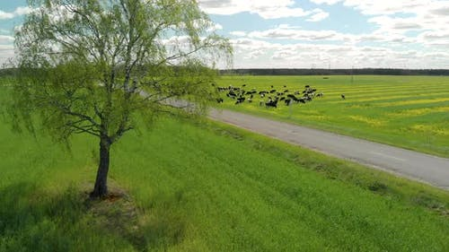 Herd of Cows Against a Blue Cloudy Sky Near an Empty Highway. Concept of Animal Husbandry