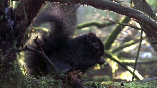 Thumbnail for Black Squirrel HD Loop