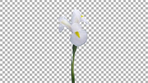 Time-lapse of opening and dying white iris with ALPHA channel