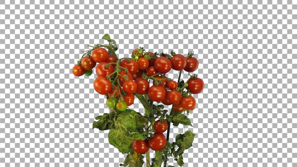 Thumbnail for Time-lapse of ripening tomato vegetables with ALPHA channel