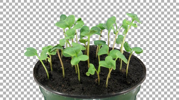Thumbnail for Time-lapse of growing radish in a pot with ALPHA channel